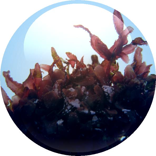 Hypnea Musciformis Algae Extract