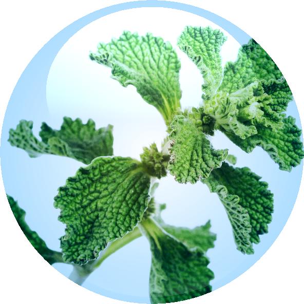 Marrubium Vulgare Extract