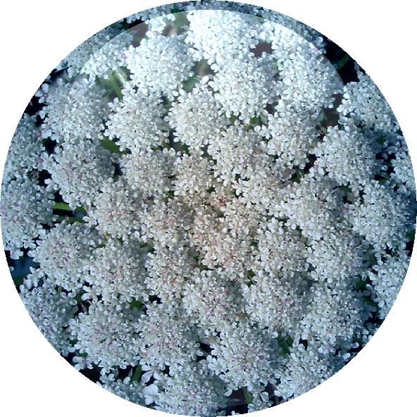 Masterwort Leaf Extract