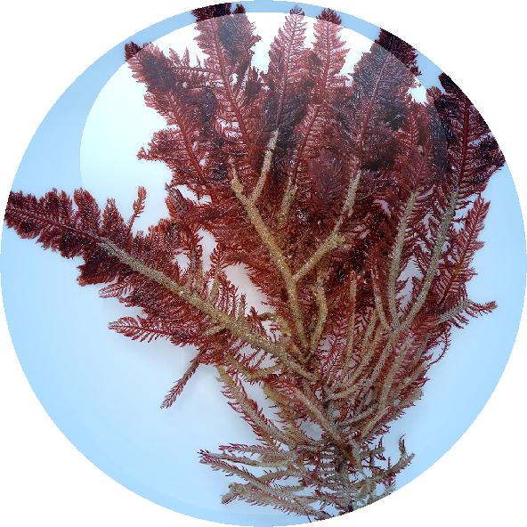 Red Algae Extract - 18.01.2016