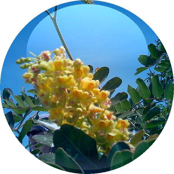 Tara Tree Extract - 18.01.2016